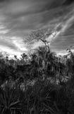 Дерево заболоченных мест Стоковые Фотографии RF