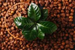 Дерево завода кофе и зажаренные в духовке кофейные зерна Взгляд сверху Стоковые Изображения