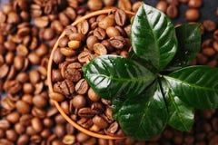 Дерево завода кофе и зажаренные в духовке кофейные зерна Взгляд сверху Стоковые Фото