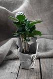 Дерево завода кофе Стоковая Фотография RF