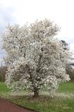 Дерево зацветает на весенний сезон стоковое фото