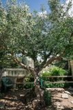 Дерево зеленого цвета водяной помпы в apulia alberobello города Италии Trullis Стоковые Фото
