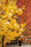 Дерево зеленой золы с деревом клена сахара на заднем плане стоковые фото