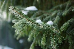 Дерево зеленого цвета зимы рождества Стоковые Фотографии RF