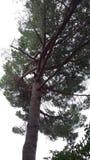 Дерево зеленое Pino Стоковые Фото