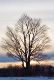 Дерево зимы на заходе солнца Стоковые Изображения RF
