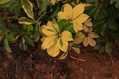 Дерево зонтика карлика Стоковая Фотография
