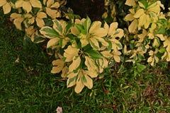 Дерево зонтика карлика Стоковые Изображения RF