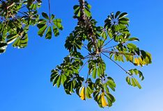 Дерево зонтика, дерево зонтика Квинсленда, дерево осьминога Стоковое Фото