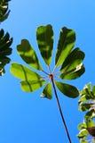 Дерево зонтика, дерево зонтика Квинсленда, дерево осьминога Стоковые Фото