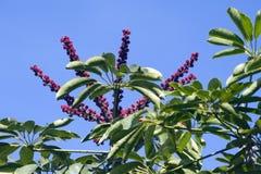Дерево зонтика Квинсленда в заграждении Стоковые Фото