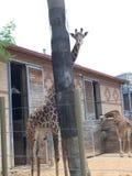 Дерево зоопарка жирафа Стоковое Фото
