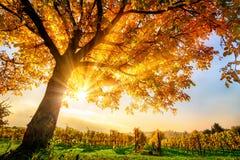 Дерево золота на винограднике в осени Стоковые Изображения RF