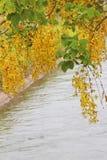 Дерево золотого ливня с предпосылкой канала стоковое фото rf
