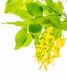 Дерево золотого ливня Стоковые Изображения RF