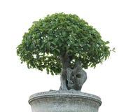 Дерево зубной щетки, тонна Khoi на белой предпосылке Стоковые Фото