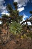 Дерево Иешуа вверх закрывает в пустыне Аризоны стоковое фото rf