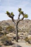 Дерево Иешуа в ландшафте пустыни стоковые изображения