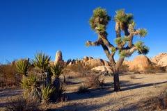 Дерево Иешуа в национальном парке дерева Иешуа, Калифорнии, США Стоковое Фото