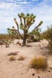 Дерево Иешуа в пустыне Стоковое Изображение RF