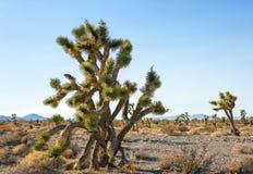 Дерево Иешуа и лес в заповеднике Мохаве национальном, юговосточная Калифорния, Соединенные Штаты Стоковое фото RF
