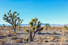 Дерево Иешуа и лес в заповеднике Мохаве национальном, юговосточная Калифорния, Соединенные Штаты Стоковое Изображение RF