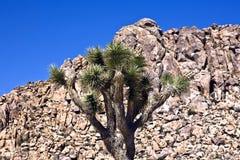Дерево Иешуа перед утесами в национальном парке дерева Иешуа Стоковое Фото