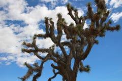 Дерево Иешуа против неба Стоковая Фотография