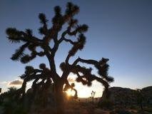 Дерево Иешуа пустыни Мохаве Стоковое Изображение RF