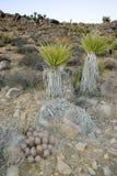 Дерево Иешуа пустыни Мохаве Brevifolia юкки ландшафта дерева Иешуа Стоковое Фото