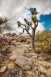 Дерево Иешуа растя в пустыне Аризоны стоковое изображение rf