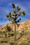 Дерево Иешуа, юкка горы в задней части Стоковые Фотографии RF