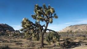 Дерево Иешуа стоковое изображение