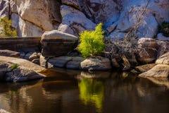 Дерево Иешуа NP Стоковые Изображения