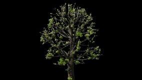 Дерево изолированное липой видеоматериал
