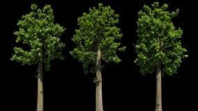 Дерево изолированное липой сток-видео