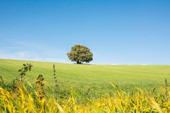 Дерево изолированное на зеленом поле, под чистым голубым небом стоковое изображение