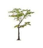 Дерево изолированное на белой предпосылке с путем клиппирования Стоковая Фотография