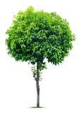 Дерево на белизне стоковые фотографии rf