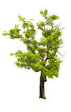 Дерево изолированное на белой предпосылке Стоковые Изображения RF