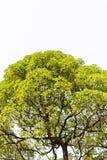 Дерево изолята в Азии. Стоковые Изображения