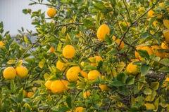 Дерево лимона вполне лимона желтого цвета зрелого Стоковые Фото