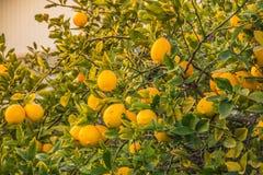 Дерево лимона вполне лимона желтого цвета зрелого Стоковые Изображения