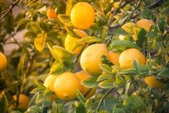 Дерево лимона вполне лимона желтого цвета зрелого Стоковое Изображение RF