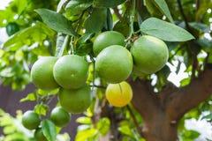 Дерево лимона Стоковое Фото