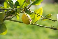 Дерево лимона Стоковые Фотографии RF