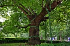 Дерево липы Mihai Eminescu Стоковое фото RF