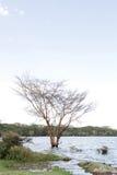 Дерево лихорадки на банке озера Naivasha, Кении Стоковая Фотография RF