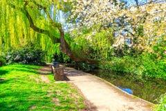 Дерево и вишневый цвет вербы на новой прогулке реки, Лондоне стоковые изображения rf