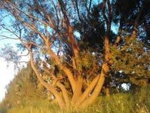 Дерево и заход солнца Стоковые Фотографии RF